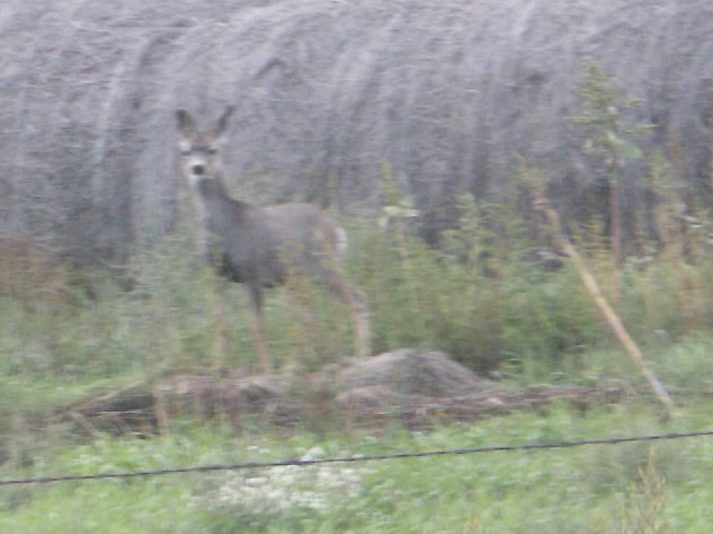 Deer in Bale Yard